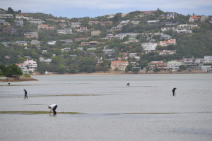 Gathering worms at low tide, Knysna